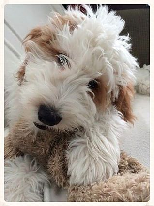 Best 25 Goldendoodle Breeders Ideas On Pinterest Puppy
