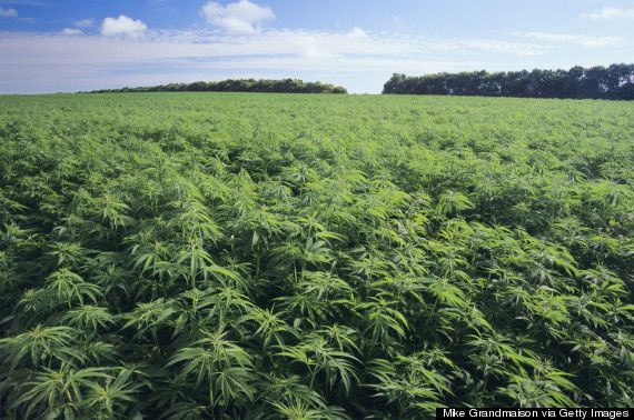Why Hemp, The Sustainable Wonder Crop, Is Sweeping The Nation