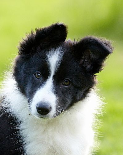 how to raise a border collie puppy