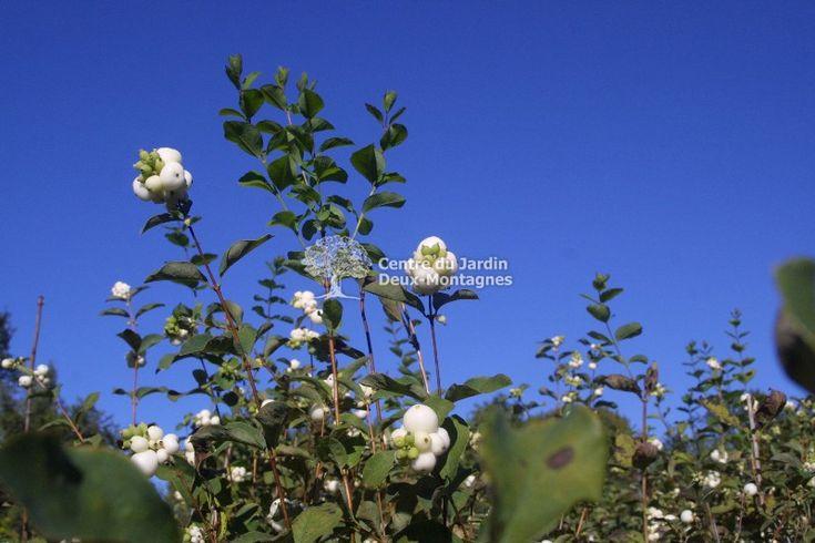 Arbuste très ramifié avec de petites fleurs rose pâle peu apparentes en juin, suivies de fruits blancs qui persistent en hiver. S'accommode de divers type de sol.  Croissance rapide.  Taille: Au besoin, au printemps, tailler pour une croissance plus dense. Occasionnellement, tôt au printemps avant le débourement, supprimer les vieilles branches à environ 5 cm du sol.