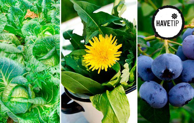 Ny trend: Dyrk kål, ukrudt og bær i haven.