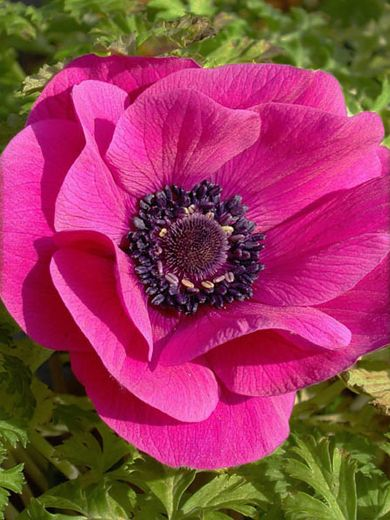 anemone coronaria planting instructions