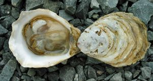 Kusshi Oyster  Deep Bay, Vancouver Island,   British Columbia