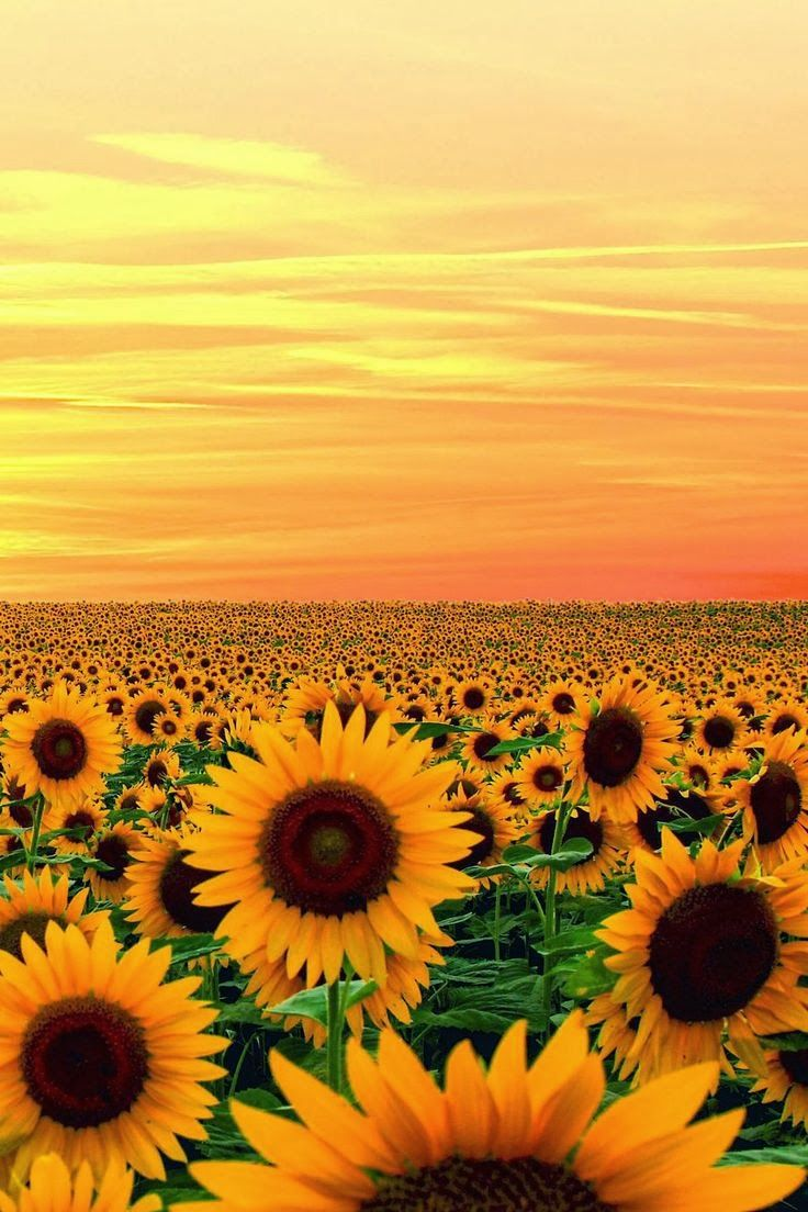 Sunset in Sunflower field, Maryland - My allergies would be insane but it would be worth it!! So gorgeous!
