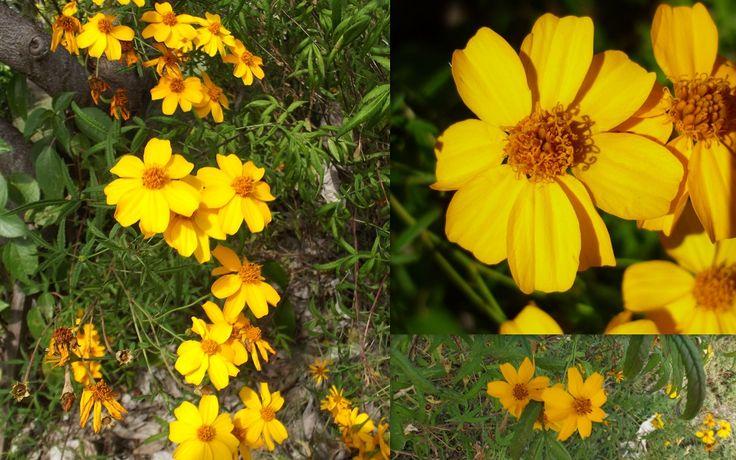 Marigold Mexican Passionfruit Scented Tagetes Lemonii Seeds
