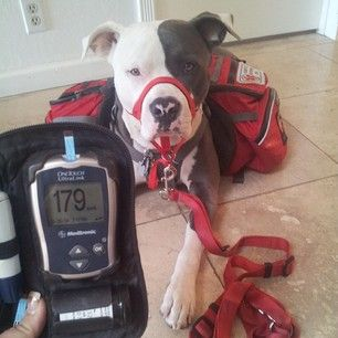 Bandit is a Diabetic Alert Dog who alerts his human when her blood sugar is getting high or low. | 5 Adorable Pit Bulls Who Are Changing Minds