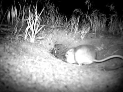 Kangaroo Rat Eating