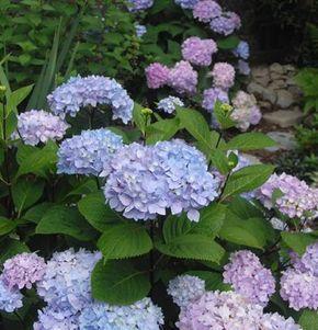 (Alternative to Bloomstruck) Blue Enchantress Hydrangea Monmar   Fine Gardening
