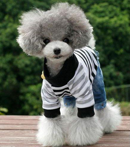 Awww! This poodle is so adorable. Looks like a stuff animal.