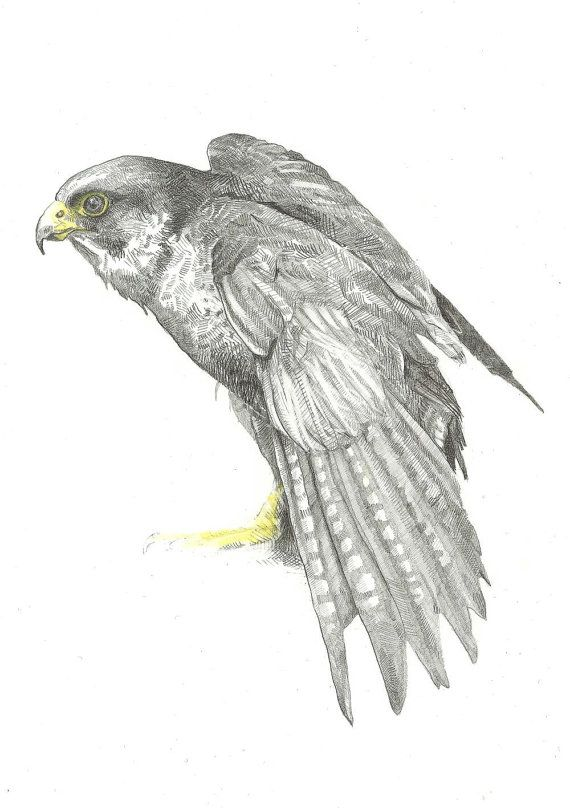Signed print of a pencil & watercolour drawing of a Peregrine Falcon, one of the coolest and fastest of the British birds of prey.    Print size: