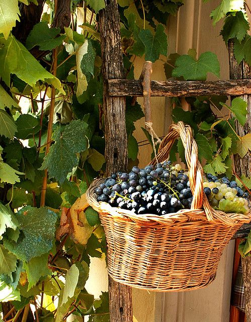 *Collecting Grapes - Tuscany