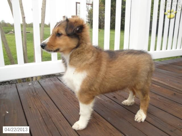 Dixie the Shetland Sheepdog Puppy for Sale