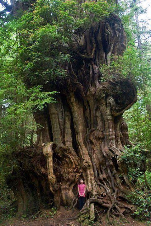 El cedro ha sido reverenciado por su significado espiritual durante miles de años. Su madera se usaba para las puertas de los templos sagrados. Olympic National Park.