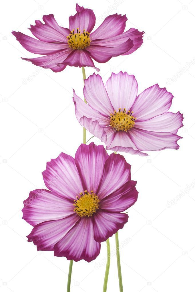 Welcome My Page In 2020 Watercolor Flowers Cosmos Flowers