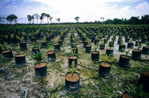 Tutta la verità sull'olio di palma Chi abitualmente legge o studia le etichette dei prodotti alimentari prima di acquistarli al superme