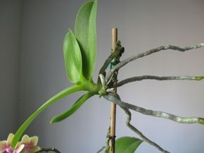 Orchid Keiki - Information On Orchid Keiki Care And Transplanting. One of the easiest ways to grow them is through orchid propagation from keikis. Keiki (pronounced Kay-Key) is simply a Hawaiian term for baby. Orchid keikis are baby plants, or offshoots, of the mother plant and an easy method of propagation for some orchid varieties.