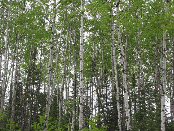 Nejen zvířata a člověk můžou vykrvácet, ale i stromy. Přečtěte si krátký článek o míze břízy.