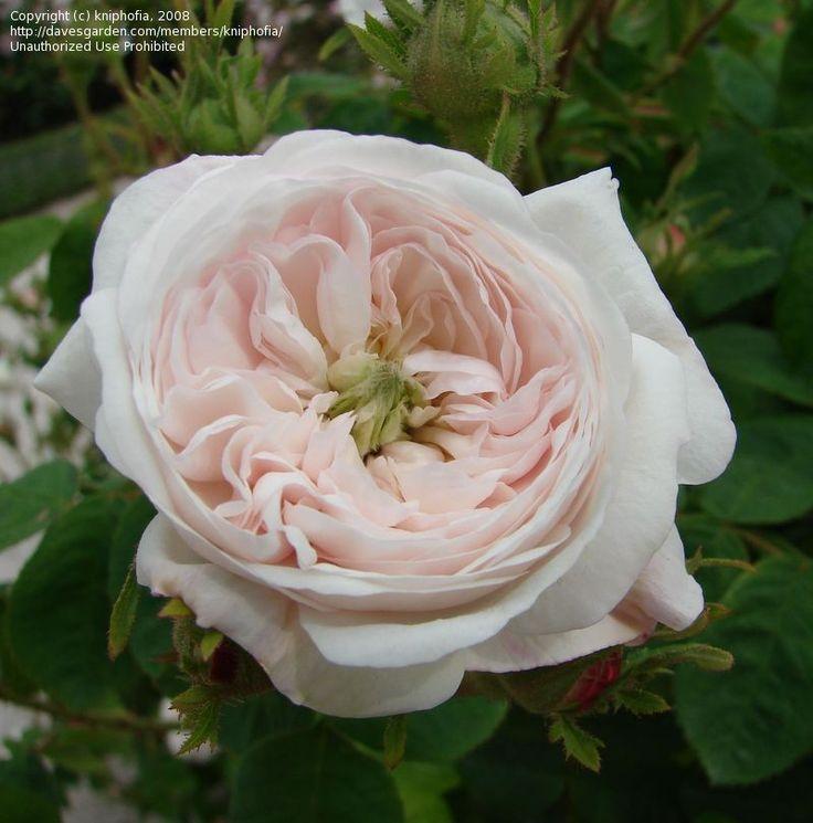 full size picture of centifolia damask rose 39 madame. Black Bedroom Furniture Sets. Home Design Ideas