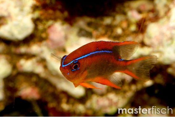 Blue-striped Red Damsel Juvenile