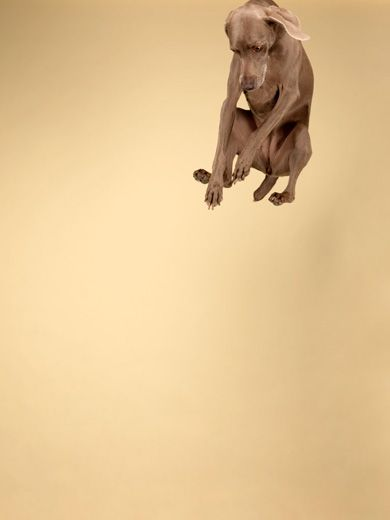 William Wegman acquired Man Ray, the dog with whom he would began a fruitful twelve-year collaboration.