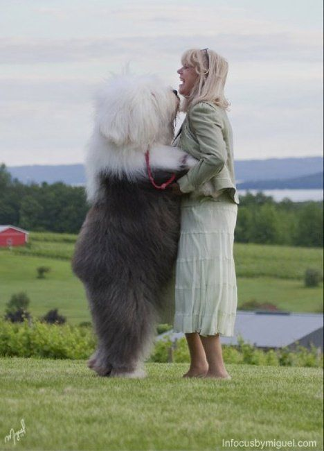 Old English Sheepdog. This is Jere Marder, the founder of Lambluv kennels, which our 5 OES came from.   Love Elvis!
