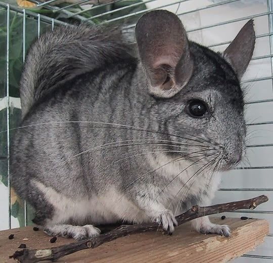 Six Cute Animals Listed as Endangered Species ---- Long-tailed Chinchilla