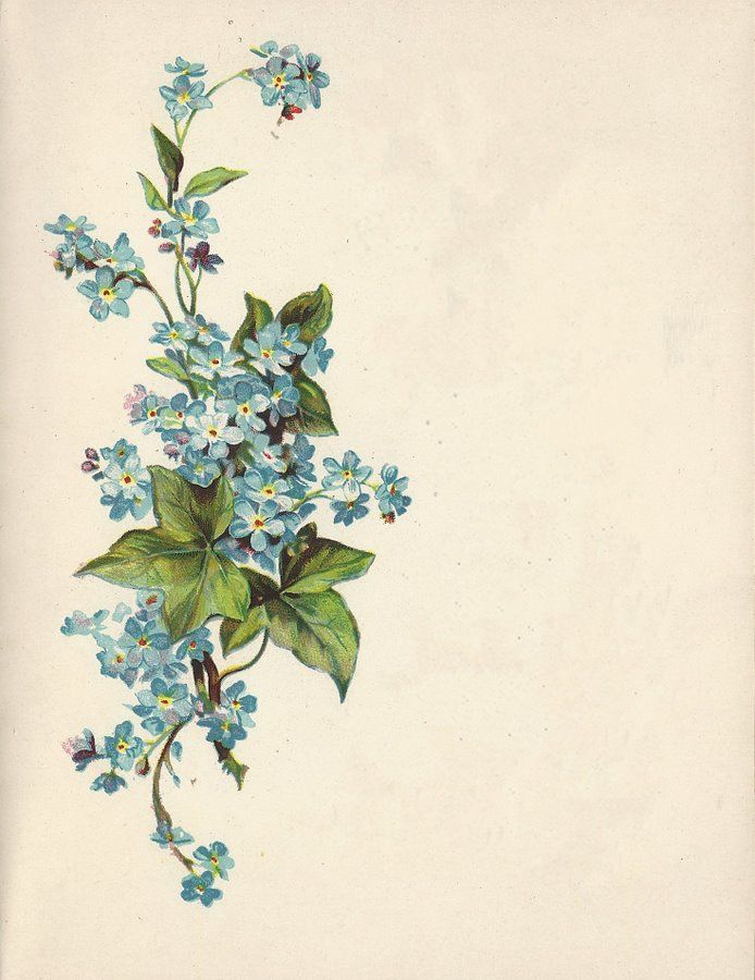 Forget-me-nots & English ivy