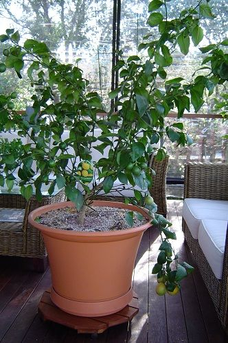 28 best images about dwarf fruit trees shrubs on for Growing olive tree indoors