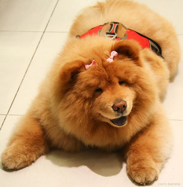 """Dear Chow with pink ribbons,  You are the cutest creature in the world! I love you so much! I wanna hug you and keep you forever!   You spoiled doggy! Raaar!   I'll see you next week (hopefully).  Mmmmuah!   (kanami pus-on ah! ulumol!)     Chow Chow is a type of dog breed originally from China, where it is referred to as Songshi Quan (Pinyin: sōngshī quǎn 鬆獅犬), which means """"puffy-lion dog""""."""