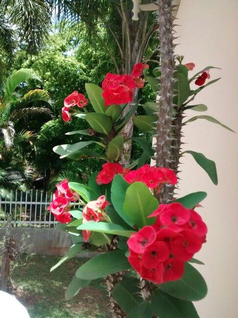 Corona de cristo roja flores del mundo pinterest - Plantas de jardin fotos ...