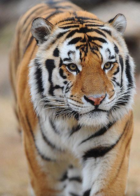 Mike_VI_the_Tiger_(Louisiana_State_University_mascot).jpg (457×640)