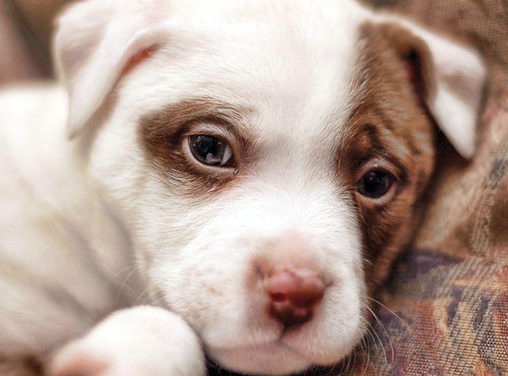 #Pitbull #Puppy #dog