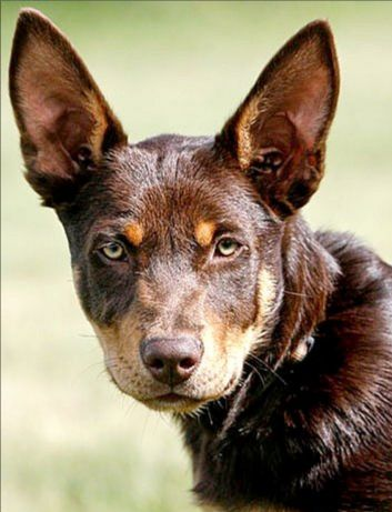 The Kelpie is an Australian sheep dog successful at mustering and droving with little or no command guidance. They are medium-sized dogs and come in a variety of colours. #Dogs