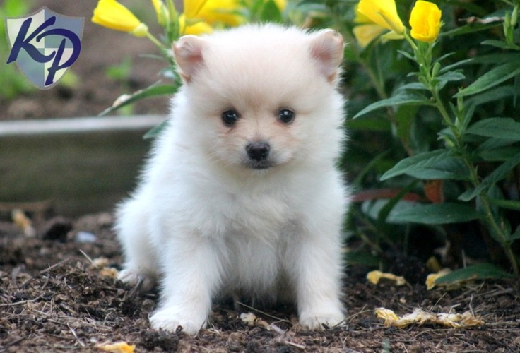 pomeranian breeders in pa 30 best the bomb poms pomeranians for sale images on 144