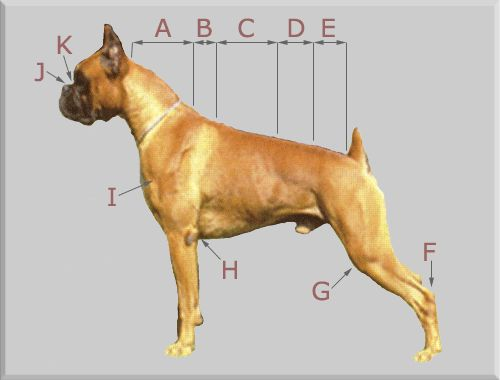 dog body diagram the names of some body parts on a boxer. Black Bedroom Furniture Sets. Home Design Ideas