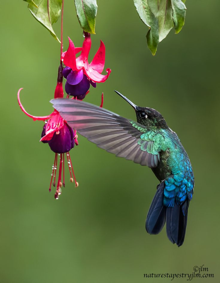 Almost There !!!!!!!!! - The beautiful fiery throated hummingbird had been busy flying around the gardens in search of food when this image was captured . They are breathtakingly beautiful !! Costa Rica is rich in so many different species of hummingbirds !