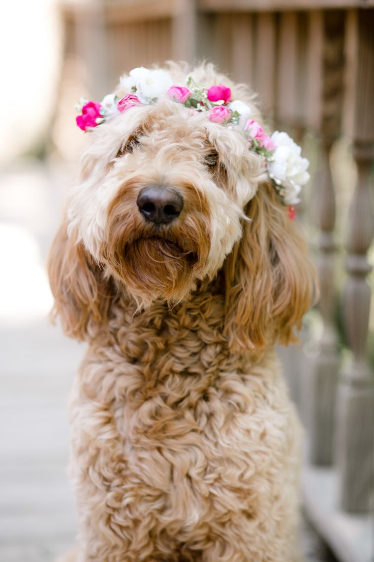 best goldendoodle images on pinterest cutest dogs fluffy pets