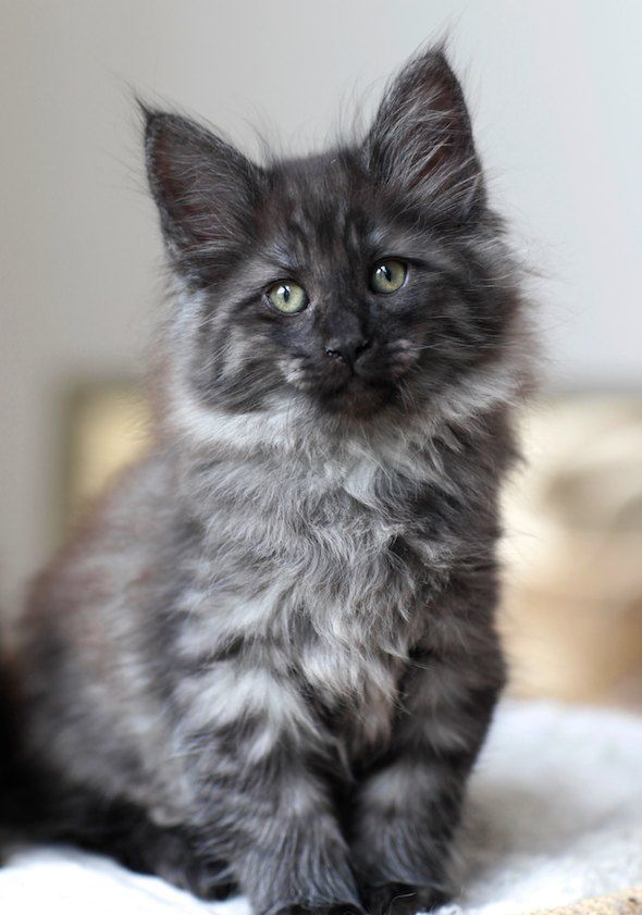 This looks exactly like the Black Smoke Maine Coon we had! Sadly he had to be…