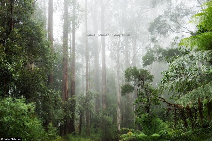 In The Fog: Taken in the Great Otoway National Park, also known as the Otoways or the Otoway Ranges, this shot shows off the huge forest located in Victoria