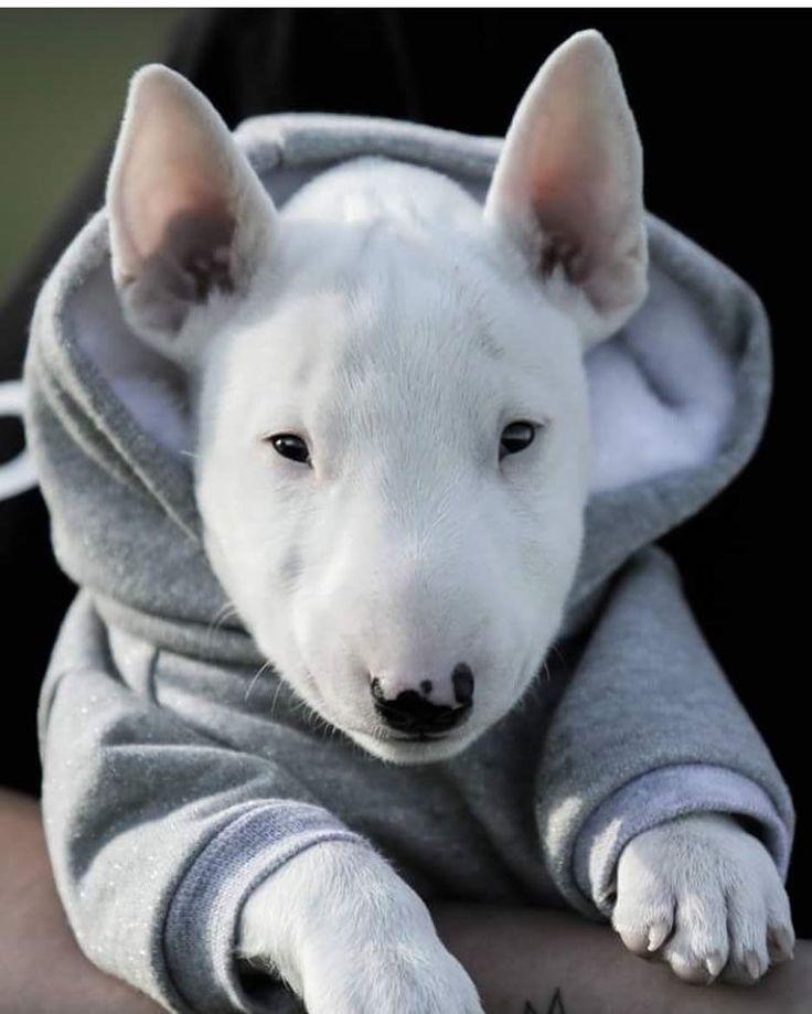 Woolie Bully in a hoodie...
