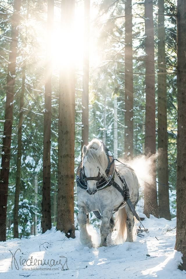 Draft horse - Working in the snow.