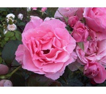 De Queen Elizabeth is de klassieker onder de rozen. De roos heeft grote, gevulde, zacht roze kleurige bloemen.