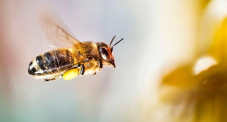 ¿Por qué las abejas son tan importantes para el equilibrio ecológico?  Leer más: http://www.ecologiaverde.com/las-abejas-tan-importantes-equilibrio-ecologico/#ixzz4VjGJPvRB  No despiertan demasiada simpatía, pero son esenciales para nuestra supervivencia. Su aguijón y posible picadura no resulta una idea apetecible, precisament