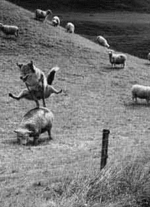 Leap frog played by a fox with the sheep. mind blown