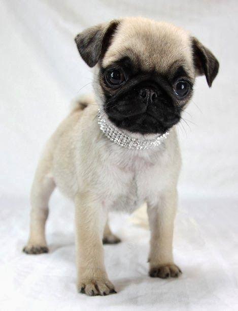 I love Pugs ~ Blogger Pixz