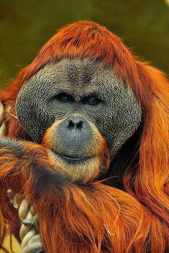 Orangutan, Perth Zoo, Western Australia