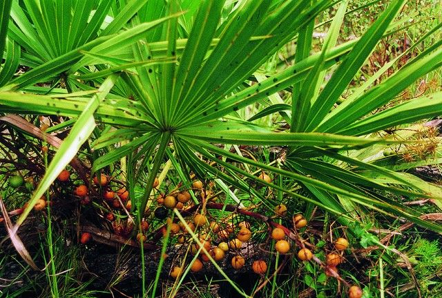 Saw Palmetto has been used for centuries as a food staple & a healing medicinal herb. The herb produces a dark red berry which is dried and then pulverized into a fine powder. Saw palmetto is available in several forms including ointments, capsules, tinctures & teas. Scientific studies have shown that Saw Palmetto may have beneficial effects for those suffering from benign prostatic hyperplasia (BPH); male pattern baldness & other conditions associated with excess DHT (male hormone)…