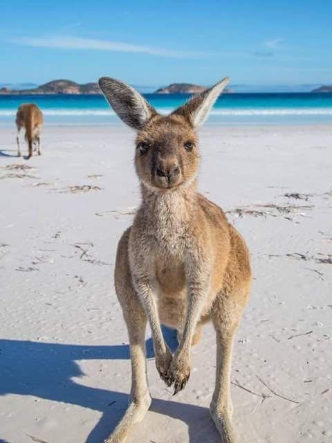 Roos at Esperance, Western Australia