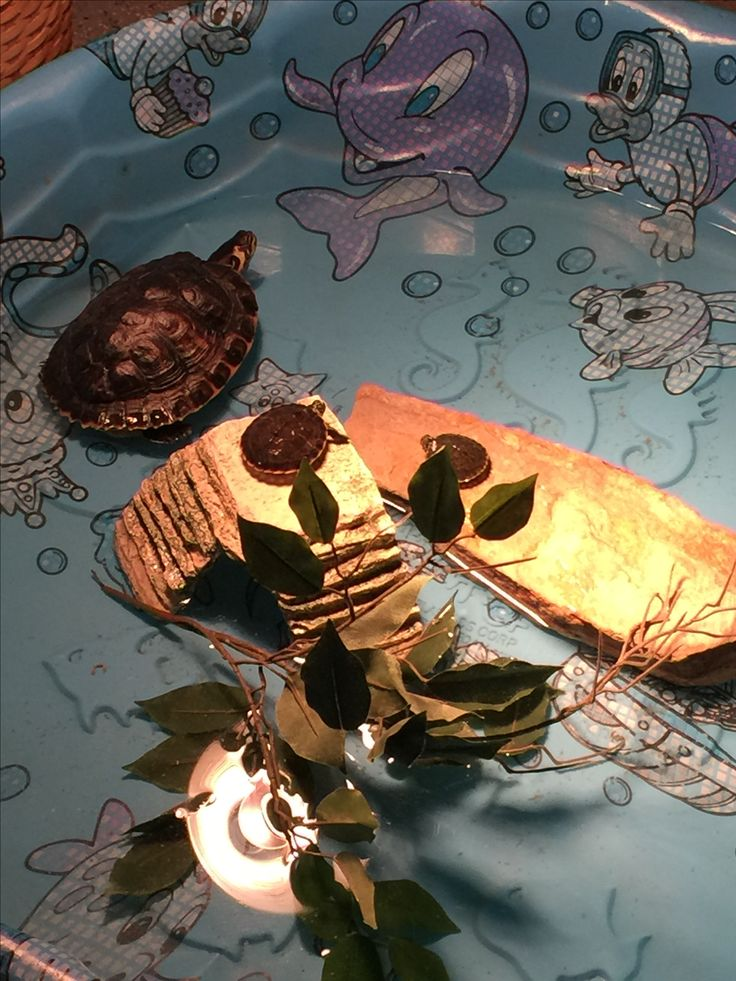 Temporary set up for my 3 yellow bellied slider turtles in the kiddie pool until their new habitat is built.