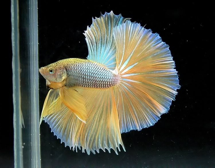 82 best images about Dragon Scale Bettas on Pinterest